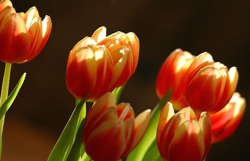 blumenfotos tulpen pflanzen garten blumen. Black Bedroom Furniture Sets. Home Design Ideas