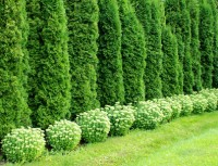 Thuja Hecke