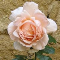 Blumenfotos: Rosen