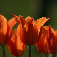 Blumenfotos: Tulpen