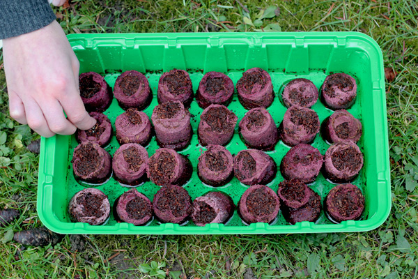 Samen werden in die aufgequollenen Tabs gedrückt