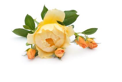 Die schönsten Englischen Rosen