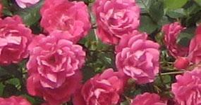 aboutpixel.de / kleine rose ganz groß © franzy