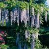 Kletterpflanzen – mehr als nur ein schönes Fassadengrün